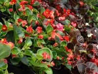 Begonia stale kwitnąca boberek