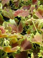 Pelargonia (z ozdobnym liściem)