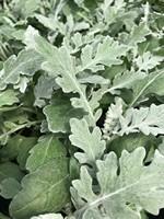 Mrozy - starzec (Cyneraria)