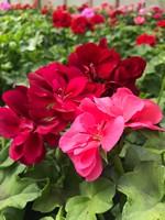 Pelargonia zwisająca - kwiat pełny